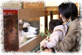 草食動物のアルパカ