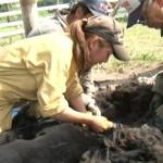 2014-06-07-アルパカの毛刈り-003