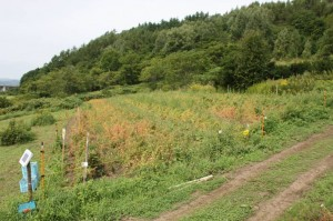 牧場のキヌア